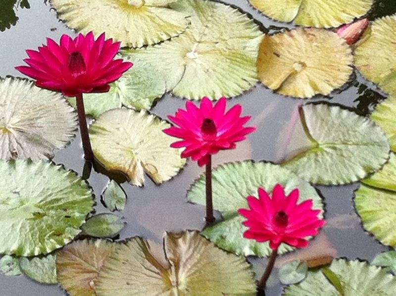 Difference Between Water Lily And Lotus Pot Gardening