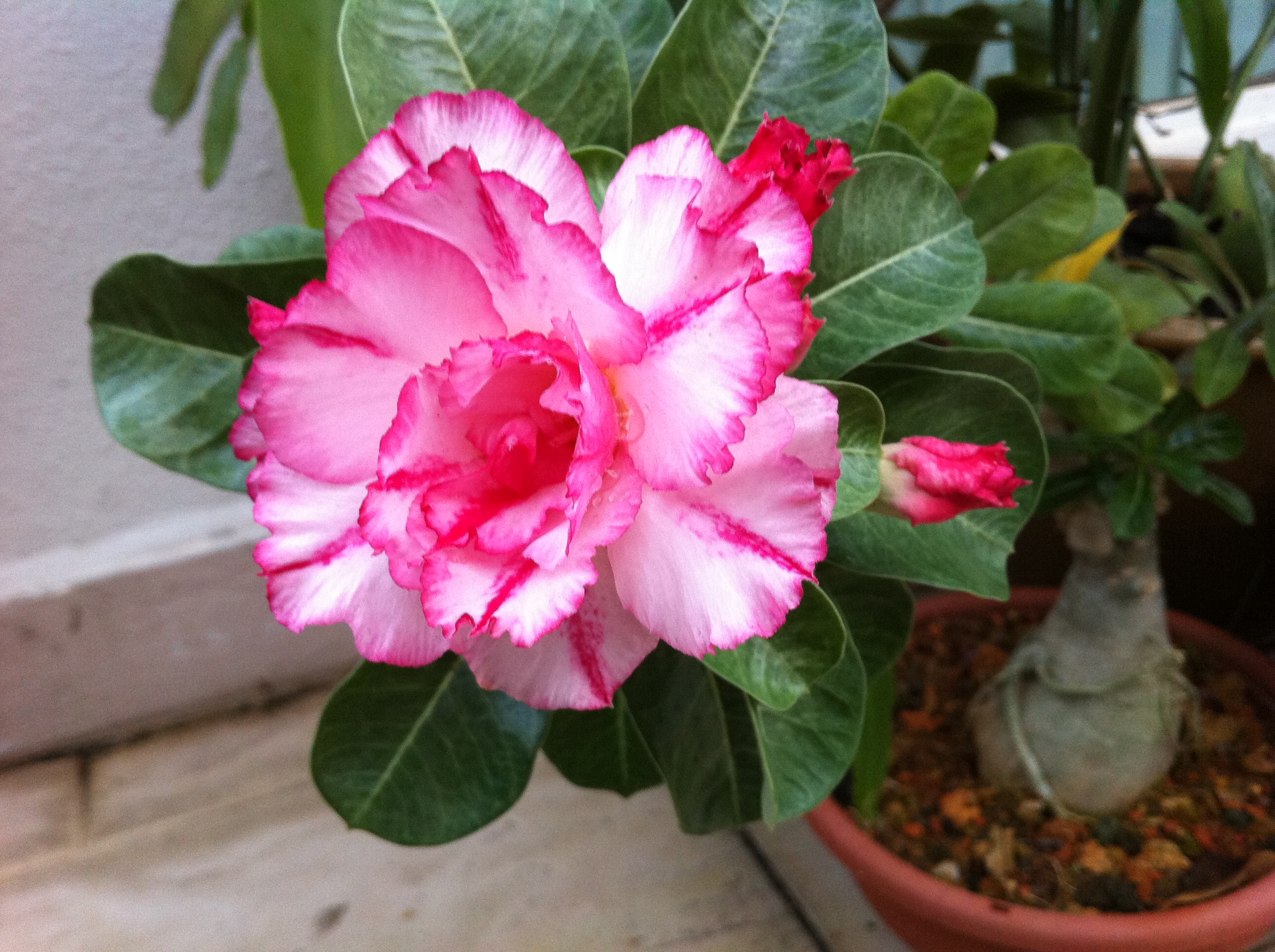 how to clean a desert rose