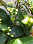 Picture of Jambu bud and fruit