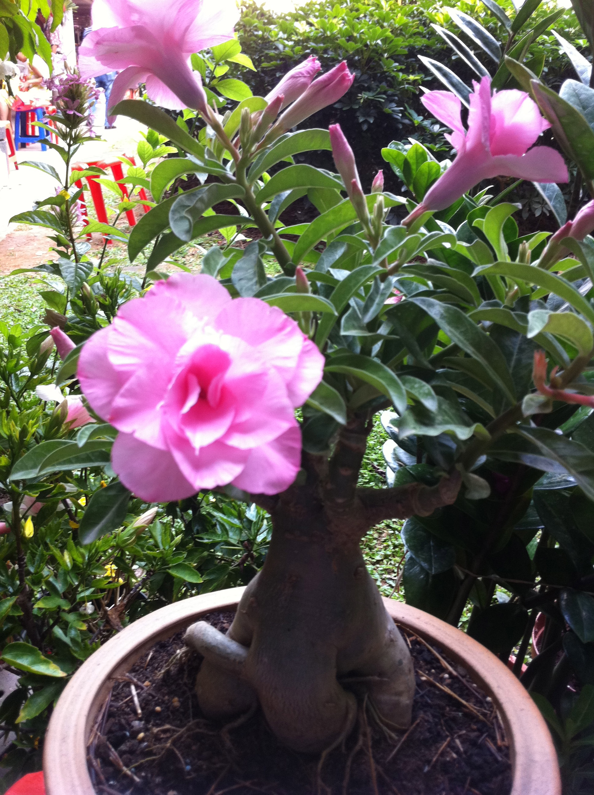 Beauty In The Eye Of The Beholder Fat Boy Adenium Pot