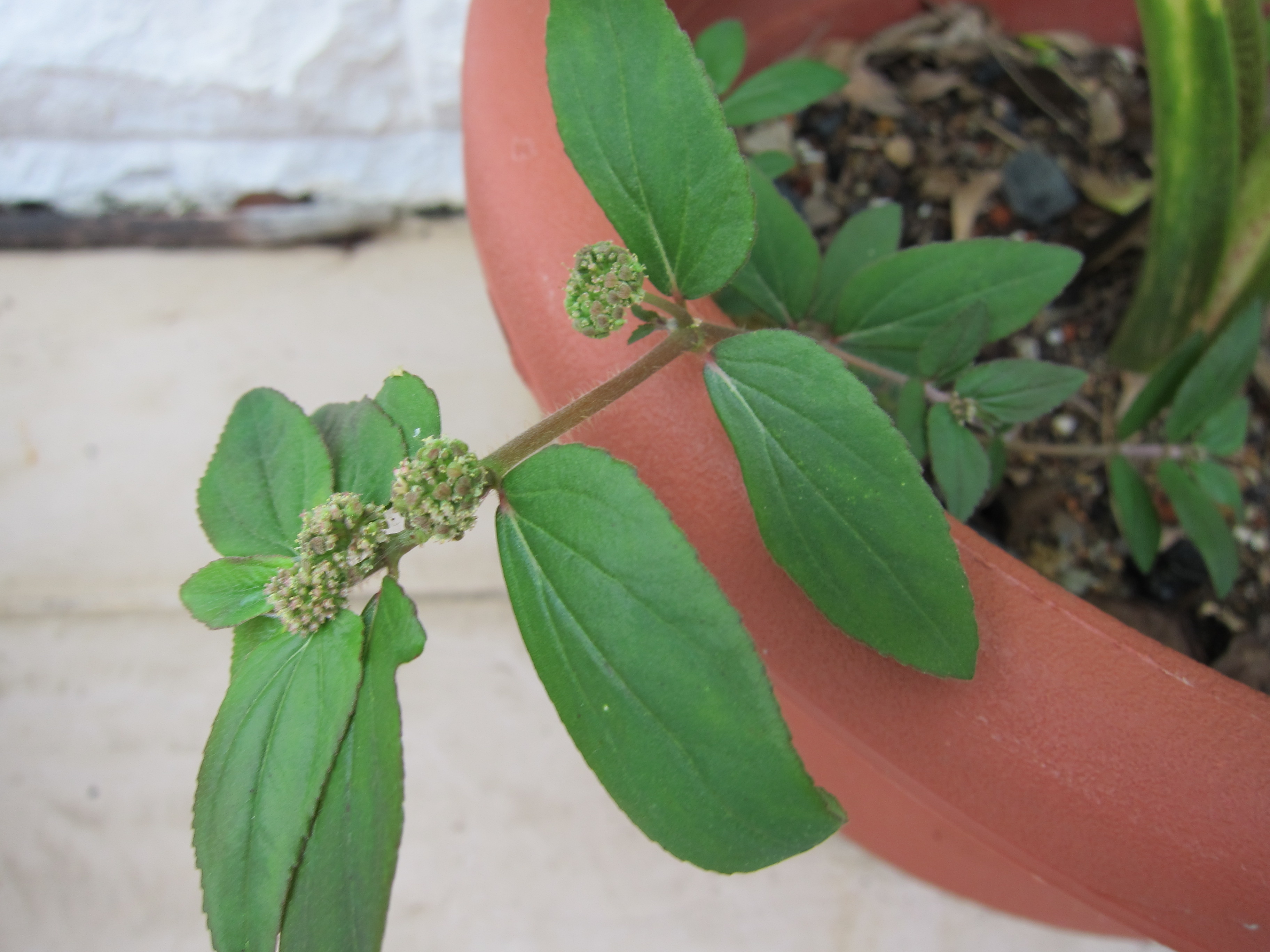 What Is A Weed Euphorbia Hirta Asthma Weed Pot Gardening