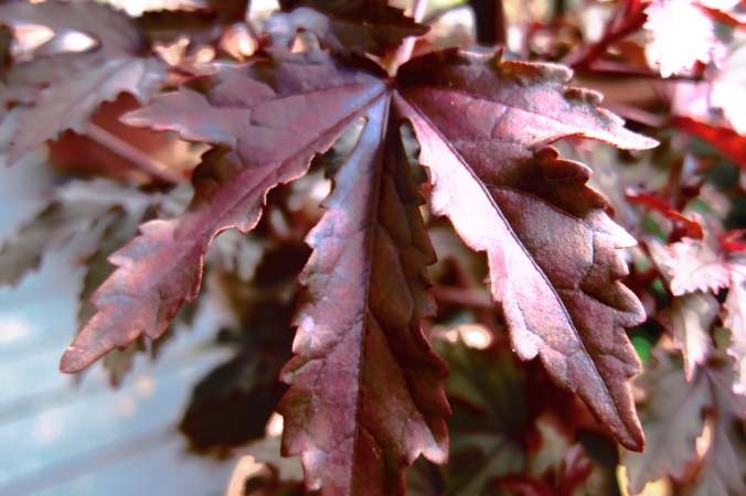 Maroon maple-shaped leaves