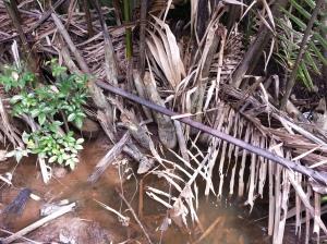 Nipa palm mangrove