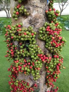 Cluster Fig tree